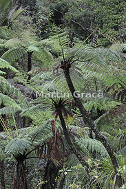 Cyathea medullaris tree fern, Coromandel Peninsula, North Island, New Zealand