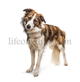 Standing Border collie dog, isolated on white