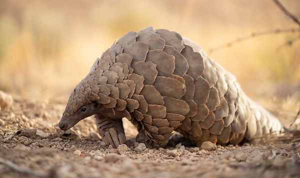 https://www.pangolinsg.org/2019/12/23/iucn-red-list-update-highlights-need-for-concerted-conservation-action-for-pangolins/?f...