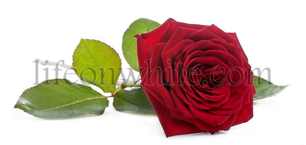 Red Naomi Rose in front of white background
