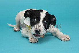 black and white puppy with treat