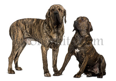 Fila braziliero or Brazilian Mastiffs, 18 months old, standing in front of white background