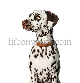 Dalmatian in front of white background