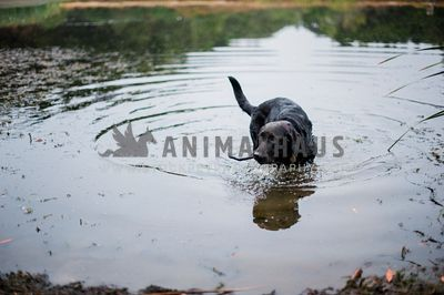 A black lab retrieving a stick from a lake