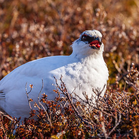 Rjúpa_-_Rock_ptarmigan_Iceland_emm.is-14