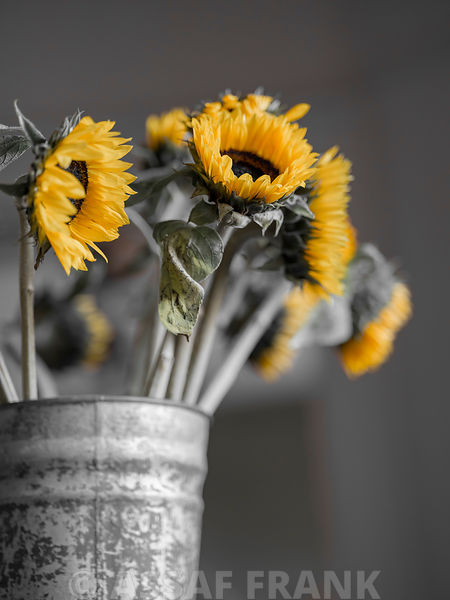 Sunflowers in tin can