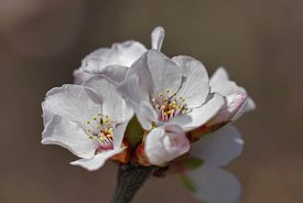 Closeup of the cherry blossom, Prunus species in the early spring