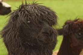 Frontal facial closeup of a frightened looking black Alpaca , Vicugna pacos