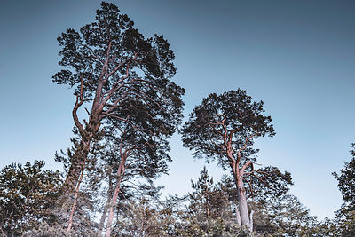 Old pine trees in british woodland.Nature abstract.
