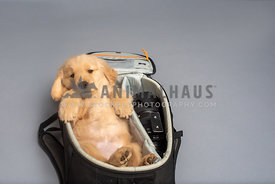 golden retriever puppy laying on his back in a camera bag