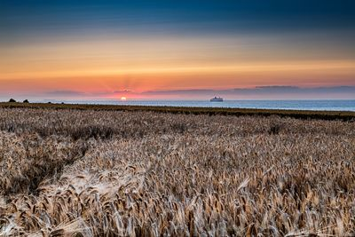 Hordeum-Barley field at sunset, Sangatte, Hauts de France, France ∞ Champ d'orge au coucher de soleil, France, Hauts de Franc...