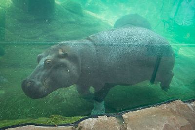 Hippopotame-Zooparc-de-Beauval_Mir-Photo-ADT41_(12)
