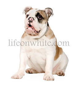 english Bulldog (5 months)