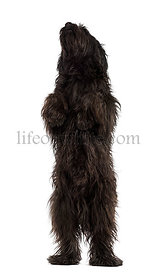 Male Catalan sheepdog on hind legs, like a bear, isolated on white