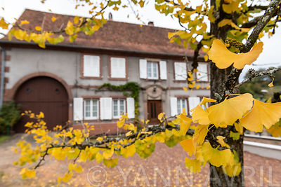 Feuillage de Ginkgo Biloba à l'automne, France, Moselle ∞ Ginkgo biloba-Leaf of maidenhair tree in a garden in autumn