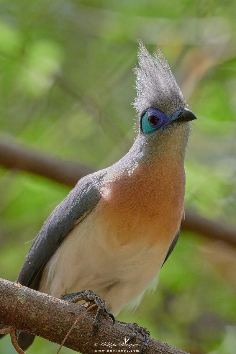 Back-lit Crested Coua