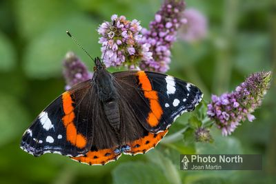 BUTTERFLY 20A - Red Admiral