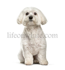 Maltese dog, 2 years old, sitting against white background