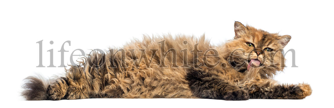 Selkirk Rex, 5 months old, lying and cleaning itself against white background