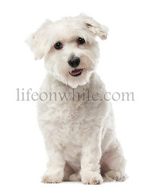 Coton de Tulear, 22 months old, sitting and looking at camera against white background