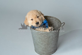 golden retriever puppy wearing blue bow tie in a grey metal pail
