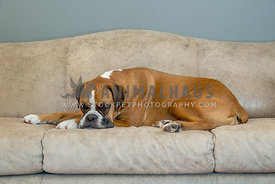 Flashy Fawn Boxer Dog Laying on Leather Sofa
