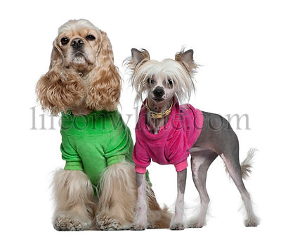 Dressed American Cocker Spaniel and Chinese Crested dog