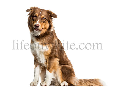 Australian Shepherd dog sitting against white background