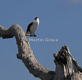 Pied Shag (Phalacrocorax varius varius) perching in a dead, washed-up tree, Farewell Spit, Golden Bay, South Island, New Zealand