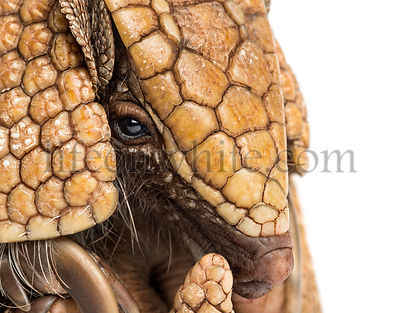 Close-up of a Brazilian three-banded armadillo, Tolypeutes tricinctus - 4 years old