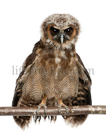 Portrait of Brown Wood Owl, Strix leptogrammica, perching in front of white background, six months old