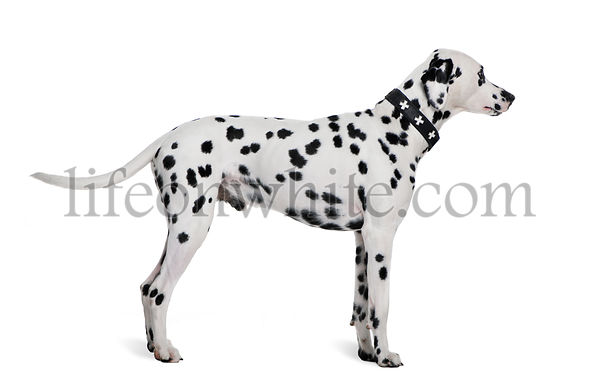 Dalmatian, 2 years old, standing in front of white background