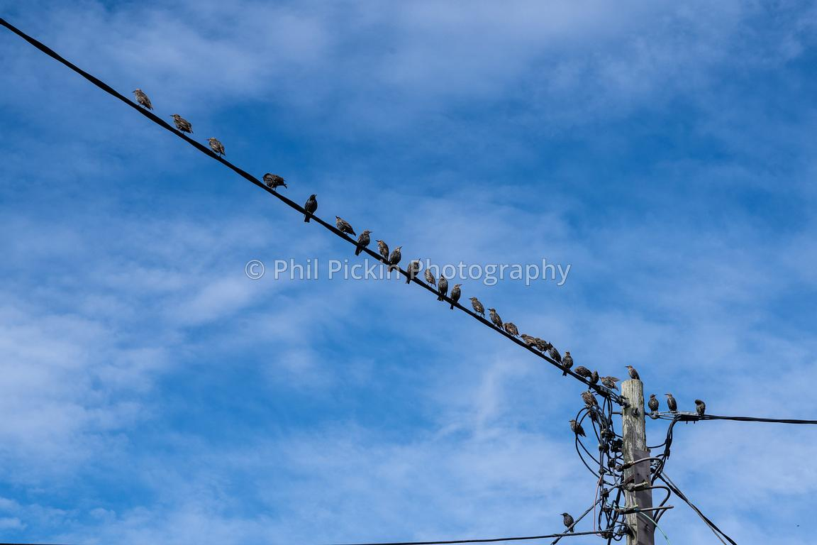 Flock of starlings [Sturnus vulgaris] perched on a power line with a blue sky behind them.