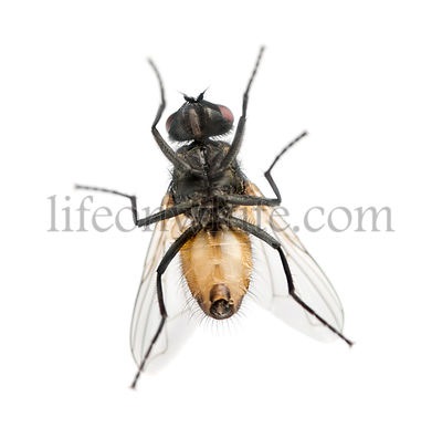 View from below of a House fly, Muscidae, isolated on white