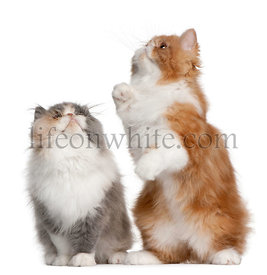 Persian Kittens, 3 months old, standing in front of white background