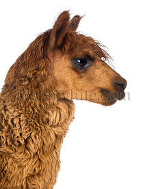 Side view Close-up of Alpaca against white background