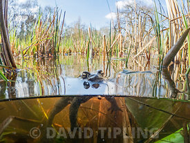 Common Toad Bufo bufo in pond during breeding season in early spring North Norfolk