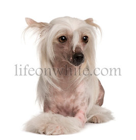 Chinese Crested dog sitting in front of white background