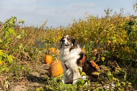 A shepherd dog sitting in a pumpkin patch