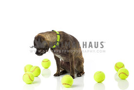 Small brindle mutt wearing matching collar looking at 8 bright tennis balls