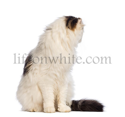 American Curl sitting and looking backwards in front of white background