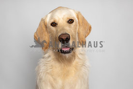 Portrait of yellow labrador dog on grey background