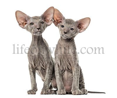 Two Peterbald kittens, cats, isolated on white