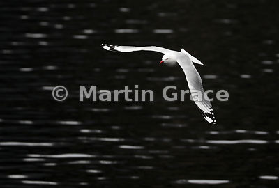 High-contrast image of a Red-Billed Gull (Larus novaehollandiae scopulinus) in flight over Doubtful Sound, Fiordland, South I...