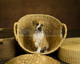 Tan pupply sits in wicker basket holding one paw up on warm painted background