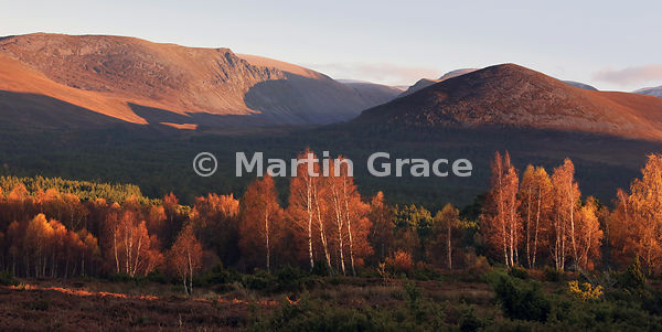 2:1 panorama of intense autumn Birch (Betula sp) foliage colour in late afternoon sunlight, with Lairig Ghru cutting through ...