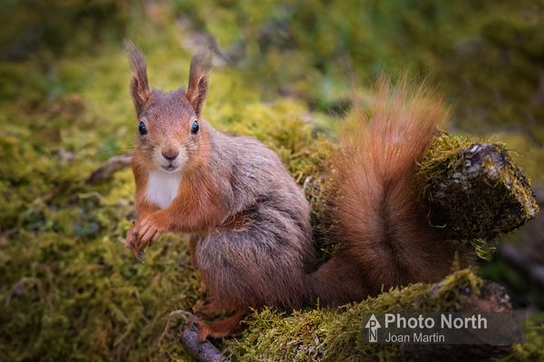 SQUIRREL 01D - Red squirrel