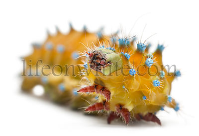 Caterpillar of the Giant Peacock Moth, Saturnia pyri, in front of white background