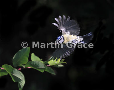 European Blue Tit (Cyanistes caeruleus) in flight, Lake District National Park, Cumbria, England: an entirely natural light i...