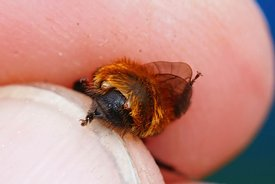 Closeup of a colorful female Tawny mining , Andrena fulva infected with 3 parasites,  Stylops nevinsoni ,  in her back body